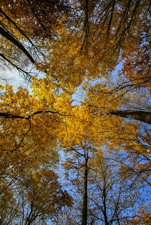 Tree  in autumn beech forest against the blue sky. photo