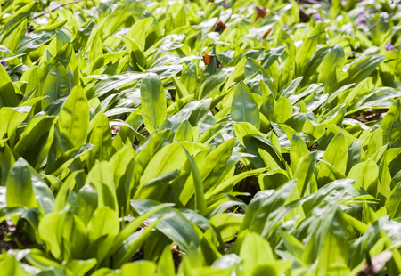 green carpet: Forest green carpet of wild garlic
