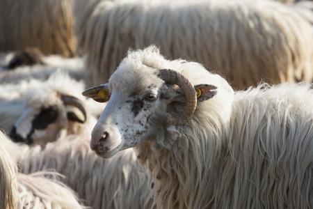 flock: flock sheeps