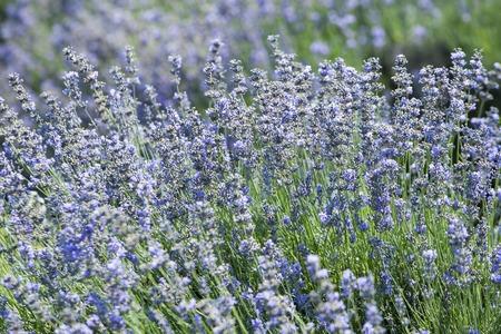 fiori di lavanda: campo con bellissimi fiori di lavanda