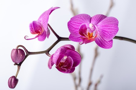 Pink streaked orchid flower, isolated on a whit background