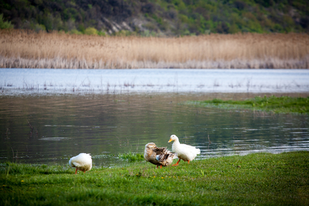 Domestic ducks to the river. White domestic ducks Stock Photo