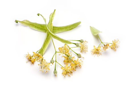 lime blossom: Lime flower isolated on white background. Natural remedy.