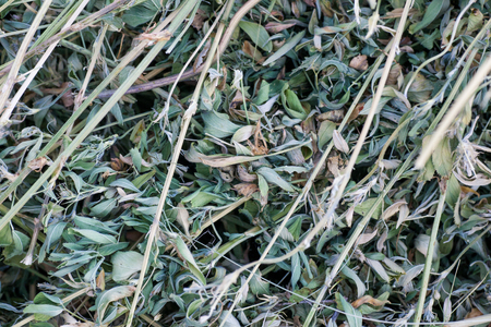 Background with lucerne hay. Texture hay closeup in color. Zdjęcie Seryjne