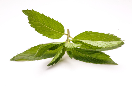 Mint isolated on white background. Fresh leaves mint. Stok Fotoğraf