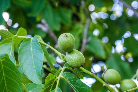 Nueces rama con frutas. Las nueces se mantienen en un árbol. Foto de archivo - 80546022