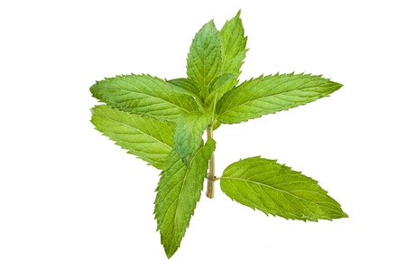 Fresh mint leaf isolated on white background. Stock Photo