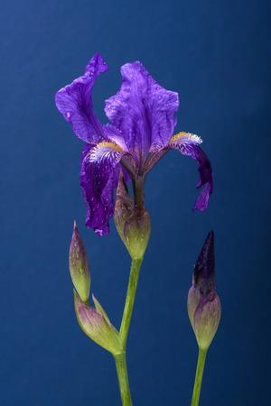 Iris on blue Stock Photo