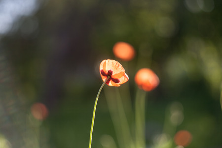 Field poppies flowers in contre jour light