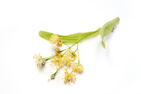 Lime flower isolated on white background. Natural remedy.
