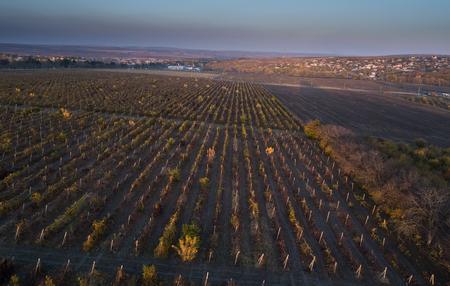 flight over vineyard in autumn, drone shot
