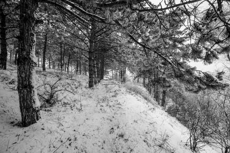 Mountain pine tree forest motion view at winter time with snow around. Winrer landscape.