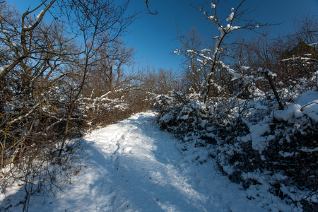 Snow-covered trees in the forest. Forest Park in Winter on a Sunny Day During a Snowfall. Christmas Winter New Year