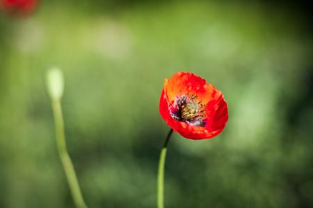 Field poppies flower Banco de Imagens