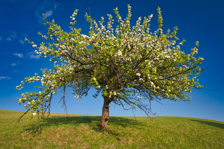 Beautiful blooming apple tree full of white blossoms shot against a clear blue sky. Fresh spring background image. 版權商用圖片