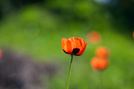 Field poppies flowers