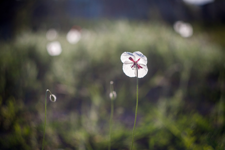 White poppies in field. Natural wildflowers. Spring flowered