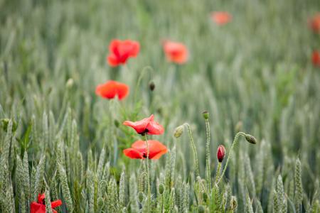 Red poppiees in yellow wheat field. Summer scene.