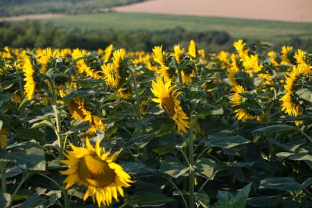 Sunflower field landscape close-up Фото со стока