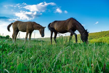 Foal with a mare on a summer pasture Stok Fotoğraf