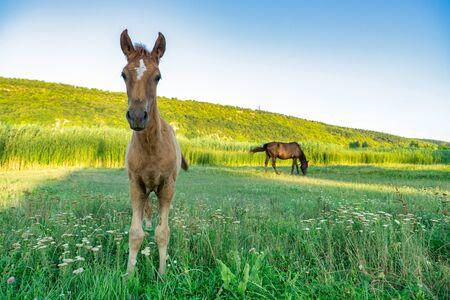 Image d'un jeune poulain. Portrait de mignon cheval brun domestique paissant sur le pré / pays en journée d'été. Écosystème naturel.