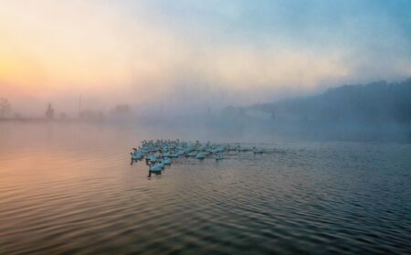 Geese are flying away from a pond covered with fog. Foto de archivo - 131349401