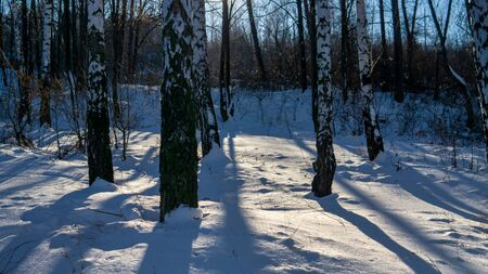 View of beautiful winter birch wood at sunset time