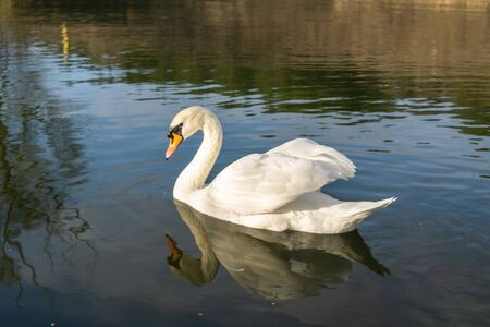 Two romantic white swans swims on the lake near shore at the morning. Stock Photo