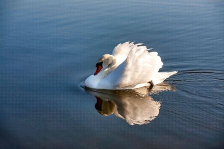 profile of white swan on blue misty lake