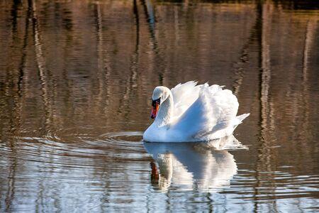 profile of white swan on blue misty lake