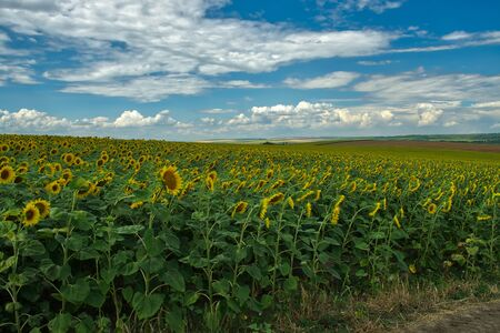 Golden fields of sunflowers. Landscape whit sunflowers and blue sky.