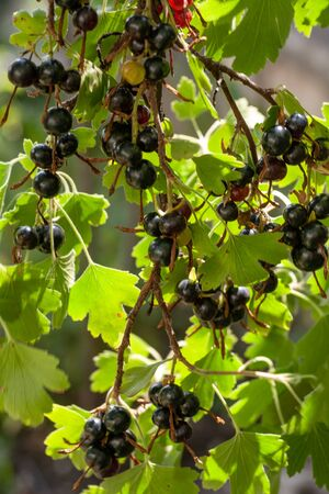 Blackcurrants on the bush branch in the garden. 스톡 콘텐츠