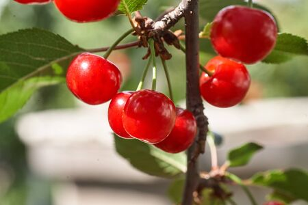 Ripe cherries hanging from a cherry tree branch. Close Up Of Cherry Fruits On A Tree