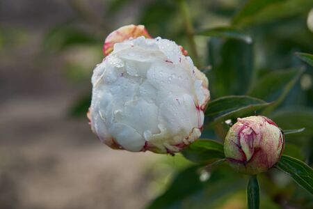 Close up of white creamy flower with dew drops on petals. Water drops on white peony flower