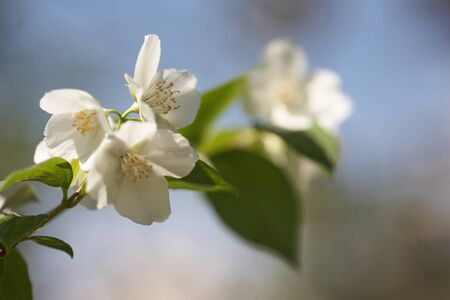 Jasmine Flowers Blossom In Warm Summer Light