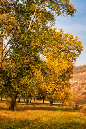 Autumn background, yellowed leaves on the poplar trees. Bottom view on the crown of trees against blue sky. Standard-Bild - 151038276