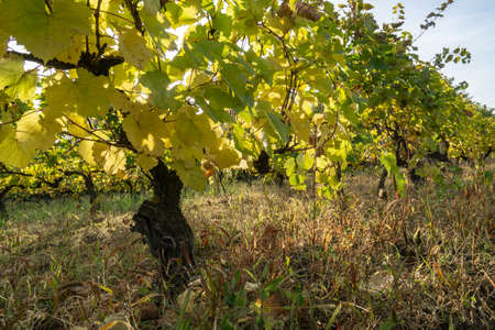 Vineyard in autumn, orange and yellow leaves background. Close-up.