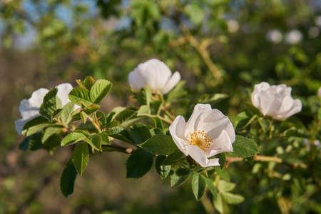 Rosehip flowers close-up, Soft focus. Rosehip is brewed in tea.