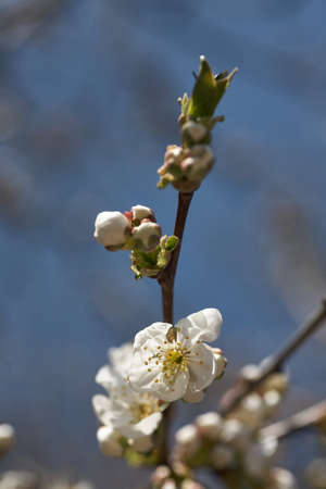 Close up white cherry blossom tree in the spring Фото со стока