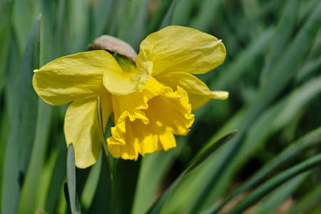 Yellow narcisses in spring with a blurred background Standard-Bild