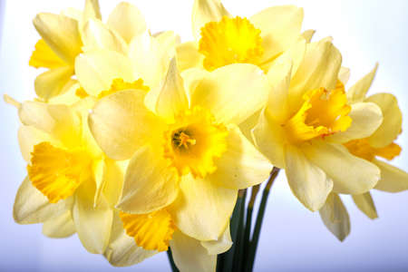 Yellow daffodils isolated on white background Standard-Bild