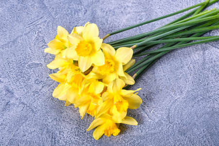 Fresh yellow narcissus, daffodils flowers on a bright blue background. Top view, flat lay, copy space, close up