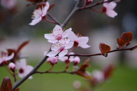 Vintage cherry blossom Bright attractive cherry plum blossom flowers blooming in spring