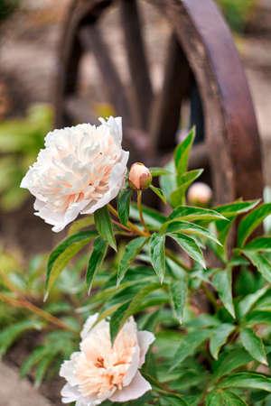 Beautiful blooming pionies