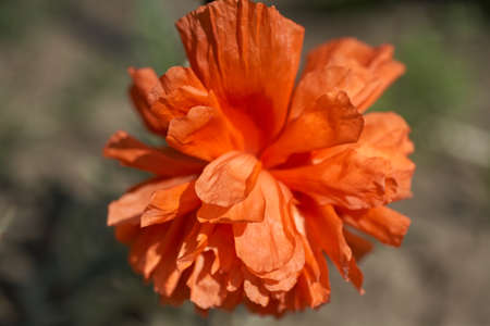 Close up of poppy flower on soft background