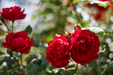 Red roses as a natural and holidays background. Red roses bunch in the garden.