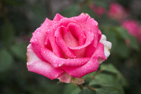 Colorful, beautiful, delicate rose with drops in the garden