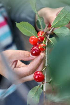 Female hand picking cherries from branch in garden Standard-Bild