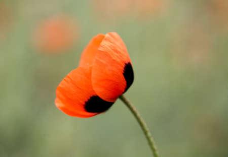 red poppy flower close-up on a green background Standard-Bild