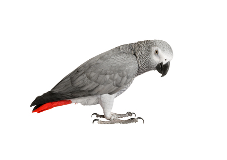 chordates: Beautiful parrot Jaco on a white background